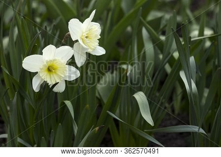 White Dissected Narcissus With White Trumpet Blooms In The Flowerbed. White Spring Flowers (daffodil