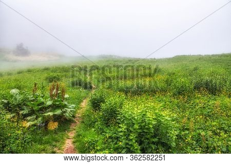 The Footpath In Green Field With Yellow Flowers In Dense Fog. Dirt Footpath Through Blooming Field