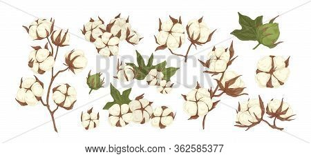 Collection Of Raw Cotton Branches, Leaves, Bolls And Flowers Isolated On White Background. Realistic