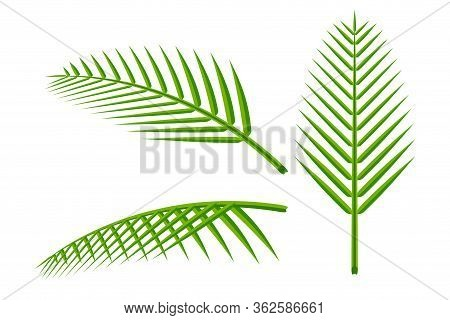 Coconut Leaf Simple Isolated On White Background, Illustration Of Coconut Leaves, Palm Stalk Lush, L