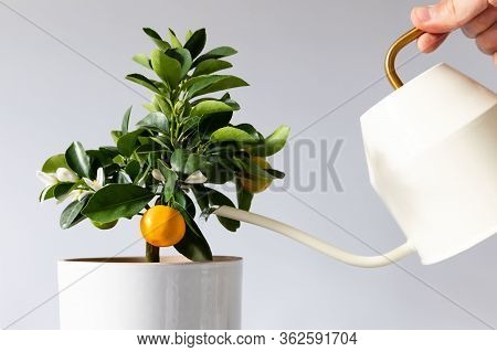 Man Watering Potted Houseplant Citrus Calamondin Using A Elegant White Metallic Watering Can With Lo