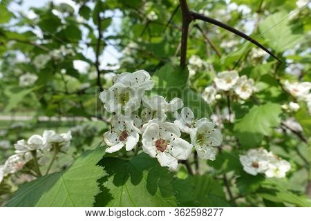 Florescence Of Crataegus Submollis In Early May