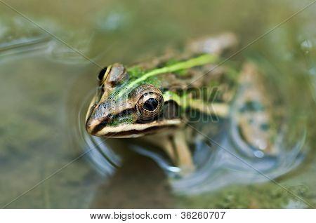 Frog Bullfrog Mud Puddle Green Algae Closeup Copy Space