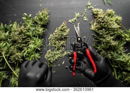 Mans Hands Trimming Marijuana Bud. The Sugar Leaves On Buds. Growers Trim Cannabis Buds.