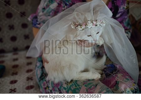 Funny White Cat In A Wedding Veil Sits On The Owner Lap