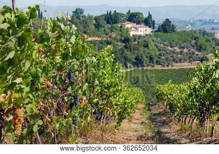Ripe Grapes In Sunny Valley. Village Mansions And Branches Of A Vineyard In Rural Landscape Before H