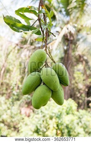 Green Mango Hanging,mango Field,mango Farm. Agricultural Concept,agricultural Industry Concept.mango