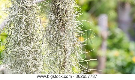 Natural \'curtain\' Formed By Spanish Moss. Spanish Moss Close Up. Grey Natural Background. Tillands