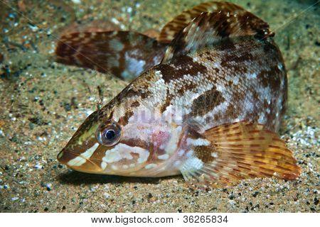 Alaska Green-fish in water of Sea of Japan