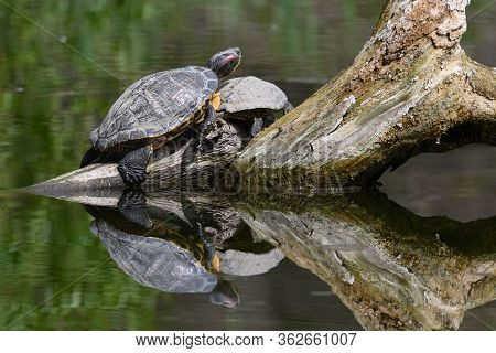 Two Red Eared Terrapin Turtles AKA Pond slider - Trachemys scripta elegans having a sunbath on driftwood fallen in water