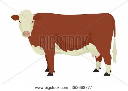 Hereford Cow British Breed Of Beef Cattle Flat Vector Illustration Isolated Object On White Backgrou