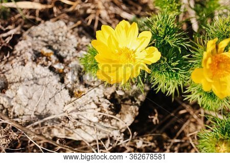 Wild Yellow Adonis Flower Near The Stone Close-up. Spring.