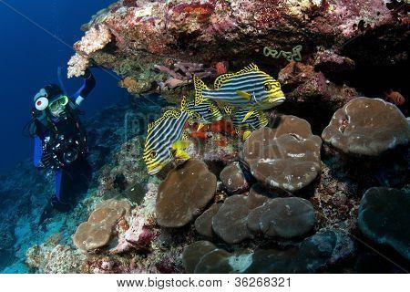 Diver Watch Oriental Sweet-lips, Maldives
