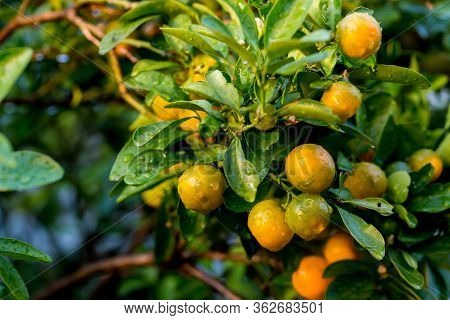 Orange Tree In The Orange Grove, Selective Focus. Kumquat Tree In A Garden. Ripe Oranges Hanging Ora