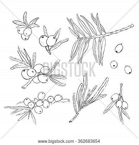 Big Set Of Hand Drawn Isolated Sea Buckthorns