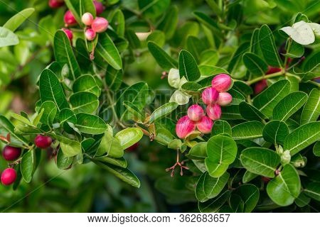 Bengal Currant, Christ Thorn Tree With Green Leaves For Background. Cluster Of Bengal Currants Or Ch