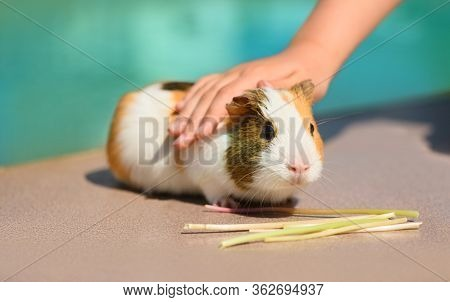 The Spotty Adult Guinea Pig Is Near The Pool On A Hot Sunny Day.