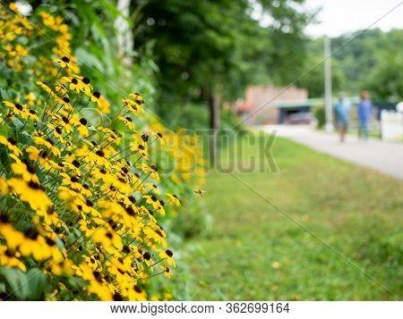 Black-eyed Susan Flowers, Rudbeckia Hirta, Near A Walking Path In Lanesboro, Minnesota. Selective Fo