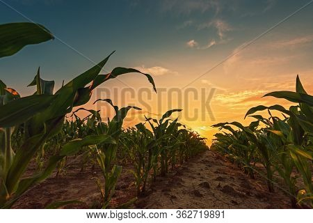 Corn Field In Sunset. Young Green Maize Crop Plants Growing On Farmland.