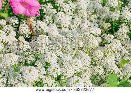 Petite Snow White Mauve Flowers Of Lobularia Maritima Alyssum Maritimum. Sweet Alyssum Or Sweet Alis