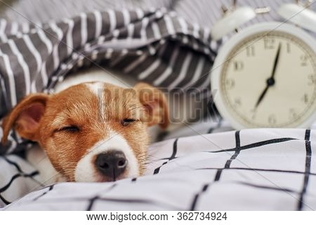 Jack Russell Terrier Dog Sleeps In The Bed With Vintage Alarm Clock. Wake Up And Morning Concept