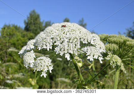 Harmful Plant Cow Parsnip. The Flower Of Cow Parsnip. Large White Inflorescences Of Cow Parsnip Clos