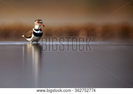 The Three-banded Plover, Or Three-banded Sandplover (charadrius Tricollaris) Standing In The Shallow