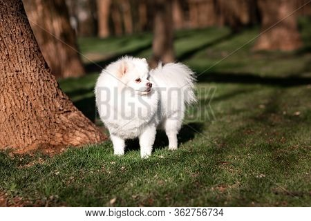 White Small Pomeranian Spitz Sitting On The Lawn Outdoor