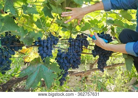 Woman Gardener With Garden Secateurs Harvesting Blue Grapes On Grape Bush. Garden, Vineyard, Hobby,