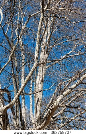 Closeup Of A Leafless Plane Tree (platanus) In The City In Winter On A Clear Blue Sky.