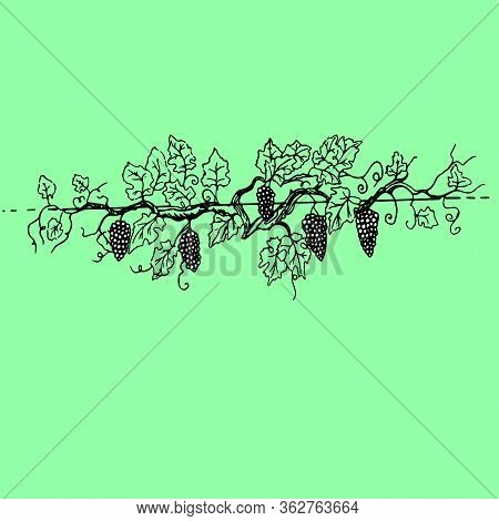 Noble Grape Branch With Large Bunches Of Fruits