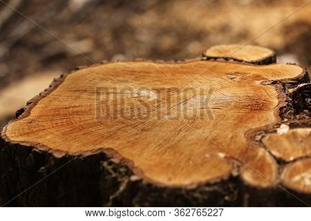 Stump From A Cut Tree. Pine Tree Forestry Exploitation In A Sunny Day. Overexploitation Leads To Def
