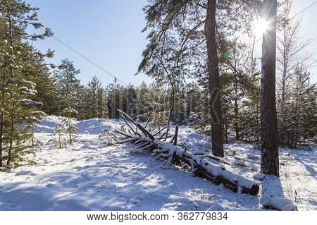 Winter In A Snowy Forest On A Bright Sunny Day. Conifer Trees In The Sunlight On Blue Sky Background