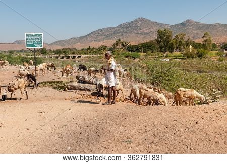 Puttaparthi, Andhra Pradesh, India - January 15, 2013: An Indian Woman Are Shepherding Herd Of Sheep