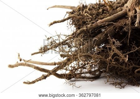Close up of plant or tree root, on white background.