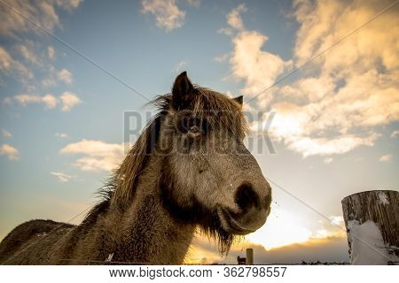 Dramatic View On A Horse With The Sky Over. Meet The Icelandic Horse Developed In Iceland, Europe.