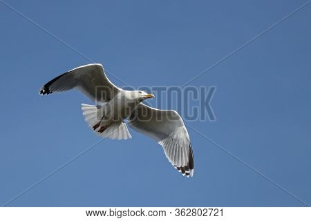 A Herring Gull Soaring On Spread Wings Against A Deep Blue Sky