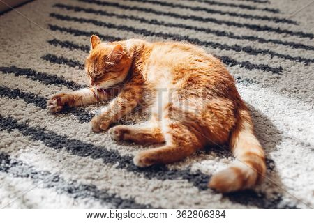 Ginger Cat Lying On Floor Carpet At Home. Pet Cleaning Itself Licking Hair. Animal Feeling Comfortab