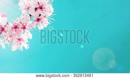 Sakura Blossom Flowers And May Floral Nature On Blue Background. For Banner, Branches Of Blossoming