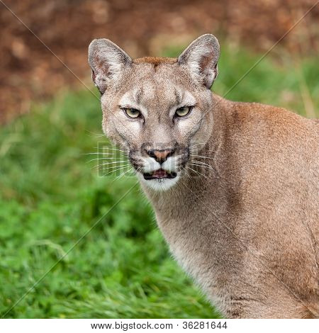 Head Shot Portrait Of Beautiful Puma