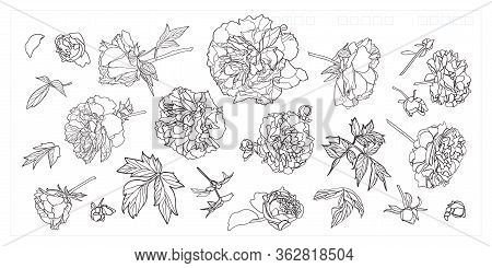 Vector Luxury Peony Blossom Icon Set. Realistic Peony Flower Illustration Set In Line Art Style. Ele