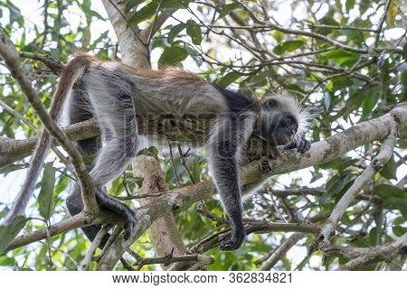 Wild Red Colobus Monkey Sitting On The Branch In Tropical Forest On The Island Of Zanzibar, Tanzania
