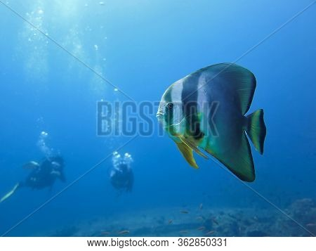 Underwater Photo Of A Bat Fish And Scuba Divers. From A Scuba Dive At Similan Islands In Thailand.