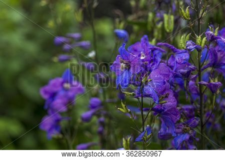 Delphinium Elatum, Delphinium Menziesii. Blue Flowers Blooming In The Meadow On A Green Grass Backgr
