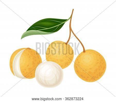 Exotic Longan Fruit Of Circular Shape Hanging On Tree Branch Vector Illustration