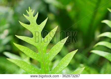 Fresh Green Pinnatisect Form Leaf Of The Wart Fern Of Hawii Commonly Called Monarch Fern Or Musk Fer