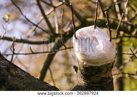 Grafting Fruit Tree. Live Cuttings At Grafting Apple Tree In Cleft With Growing Buds, Young Leaves A