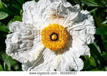 Macro Shot Of A Blooming White Flower With Yellow Style Stigma Ovule