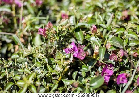 Purple Flowering Plants Of The Steppe. Plants Of The Kazakh Steppes