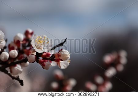 Delicate Fresh Flower Of A Blossoming Apricot Tree With Soft Focus In The Light Of The Sun.